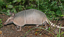 Wikipedia armadillo